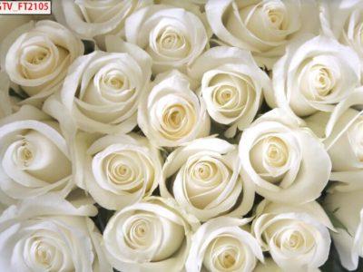 tranh 3d hoa hồng trắng
