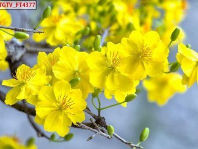 tranh dán tường với hoa mai mùa xuân