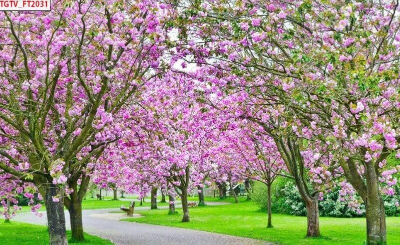 mẫu tranh in mùa xuân